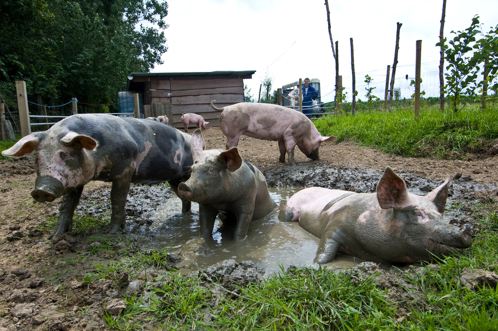 Image result for pigs in mud pictures